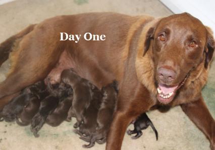 AKC Breeder chocolate lab puppies Austin Tx Male Female